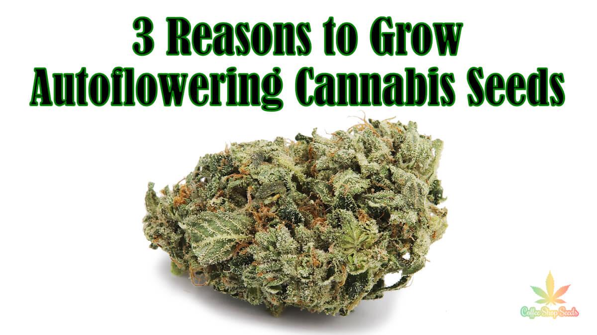 Speeding Up the Buds – 3 Reasons to Grow Autoflowering Cannabis Seeds