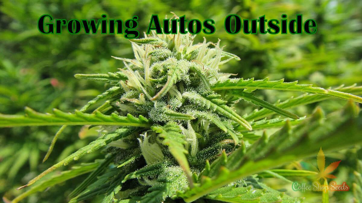 Growing Autoflowering Cannabis Seeds Outdoors