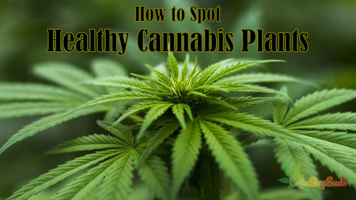 How to Spot Healthy Cannabis Plants