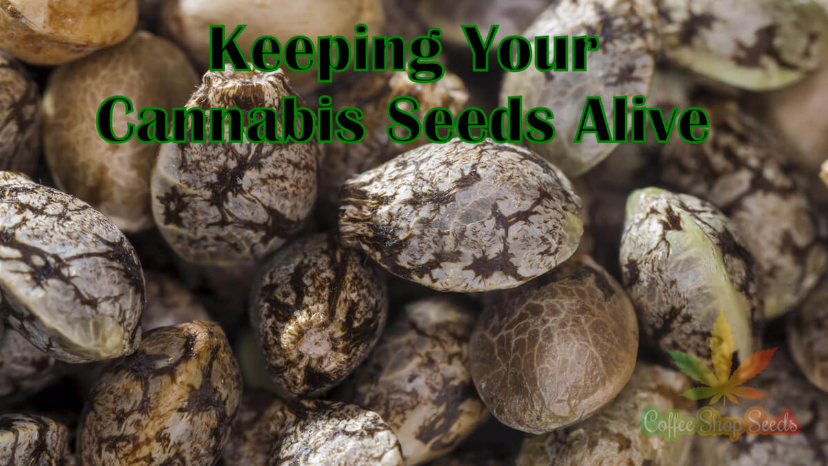 Keeping Your Cannabis Seeds Alive Part 1 – Proper Storage Tips You Should Know