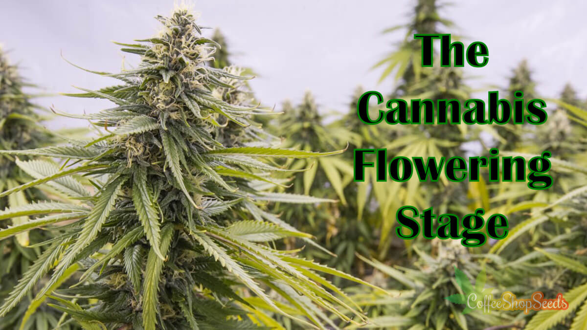 What Should You Do at the Cannabis Flowering Stage?