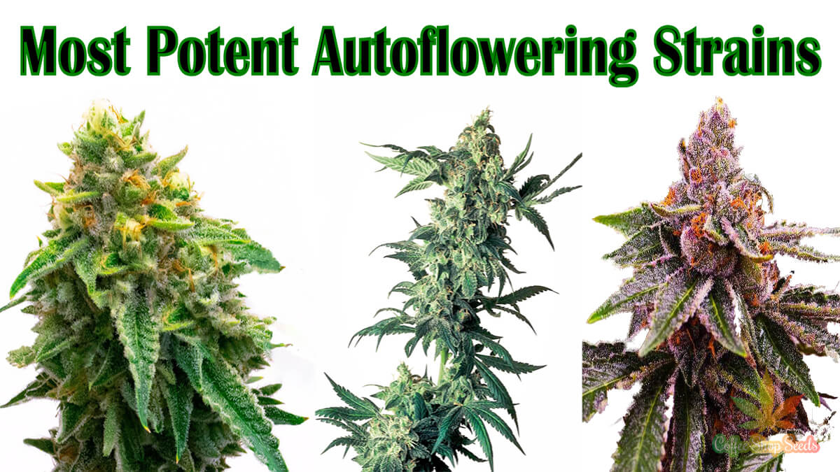 Most potent autoflowering strains in the UK