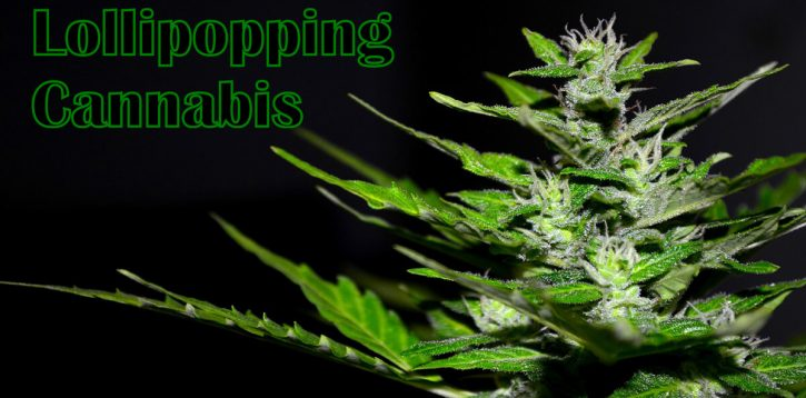Everything You Need to Know About Lollipopping Cannabis