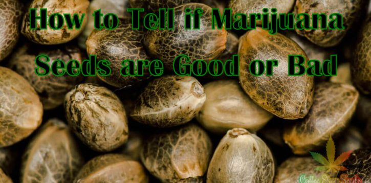 How to Tell if Marijuana Seeds are Good or Bad